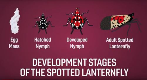 Image of Stages of Spotted Lanternfly