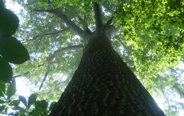 Photo of Shumard Oak Tree at Algonkian Regional Park in Loudoun County